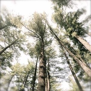 tall_trees2